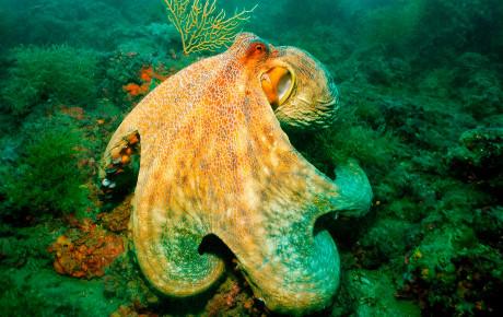 octopus-vulgaris-polpo